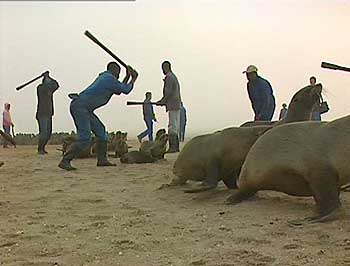 Cape fur seal massacre - photo AP