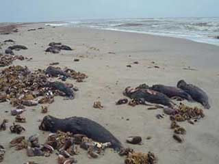 Killed Cape fur seal pups