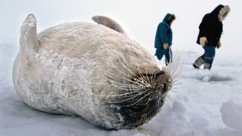 Inuit with dead ringed seal - Canadian Press