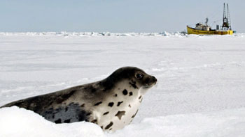 seal in Gulf of St Lawrence
