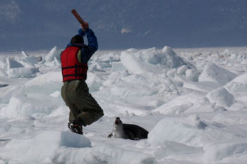 Sealer about to kill harp seal pup - HSI