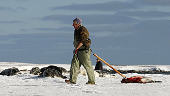 Sealer drags killed grey seal - photo by Paul Darrow - Reuters 2012