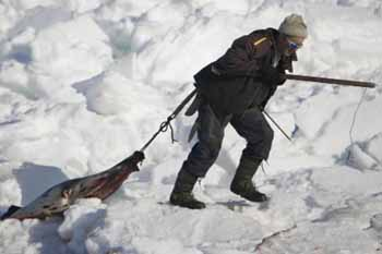 seal hunting should be banned in canada The canadian seal hunt leads to animal suffering, and a european union ban on the import of its products should stand, says andy butterworth.