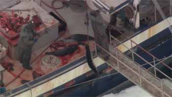 Sealer drags shot seal pup onto boat - photo HSI 2015