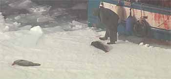 Sealer clubs injured seal pup - HSI 2015 from video