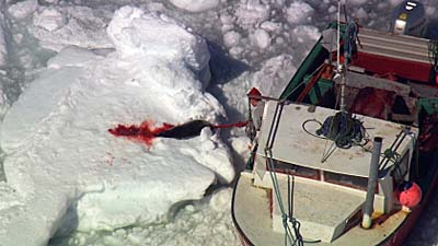 Sealer hooks bleeding harp seal pup - photo Frank Loftus HSI 2013