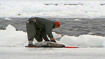 Killed seal pup on the Front