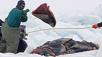 Sealer throws seal skins - photo Canadian Press