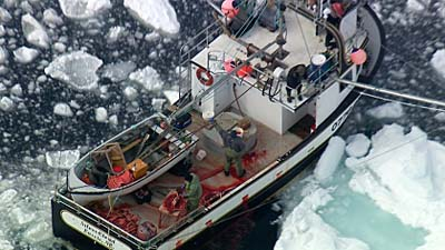 Harp seal pups on bloody boat - photo Frank Loftus HSI 2013