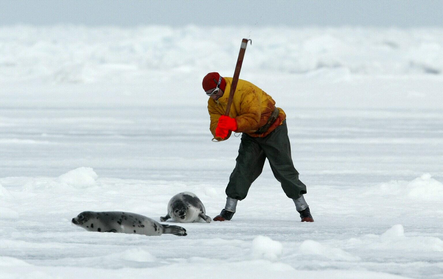POLL: Should the Canadian Government bring an end to the annual seal slaughter? Shocking Video!