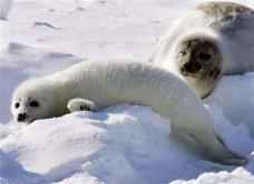 Mother Harp Seal and Pup