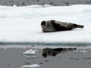 Adult harp seal - from VOCM