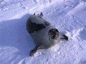 Adult Harp Seal
