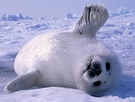 baby harp seal waving