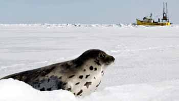 Seal with sealing boat in distance - photo CBC