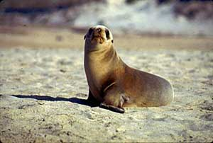California sea lion - photo NMFS