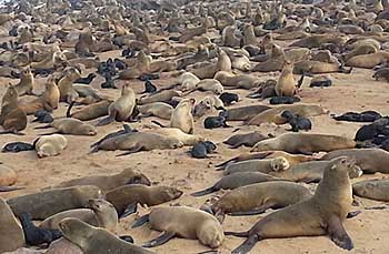 Cape fur seal colony - New Era