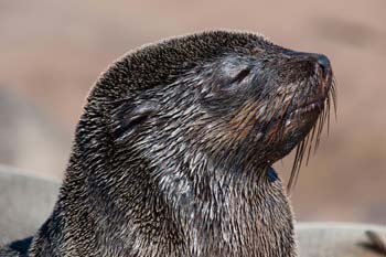 Cape fur seal pup - Frans Lanting - Nat'l Geographic