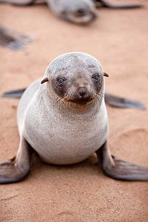 Cape fur seal pup - Getty