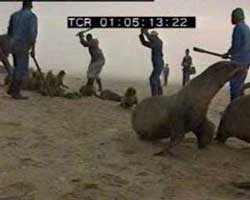 Cape fur seal slaughter