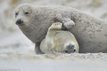 Seal mom with pup - Elmar Weiss