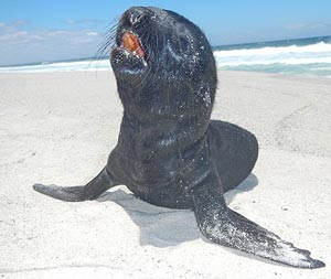 Dying Cape fur seal pup
