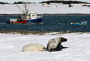 grey seal mother and pup - photo by Paul Darrow - reuters 2011