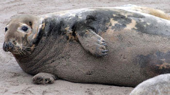 Grey seal Pictou Island - Chronical Herald