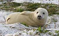 Grey seal pup - photo PA
