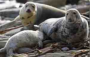 grey seals - mother and baby