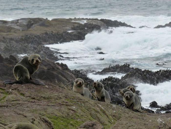 Group of thin fur seal pups - RadioNZ