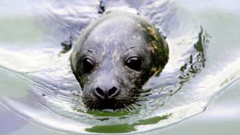 harbor seal - Lorne Gill - SNH