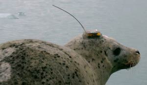 Harbor seal with GPS