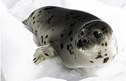 Beater harp seal pup - photo Paul Darrow - Reuters 2008