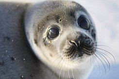 harp seal pup - photo AFP