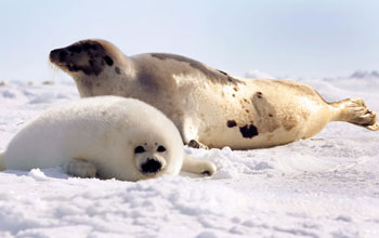 harp seal mother and pup - Paul Darrow - Reuters