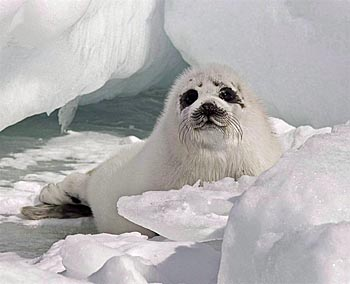 Harp seal pup - Gulf of St. Lawrence - photo Andrew Vaugan - Canadian Press