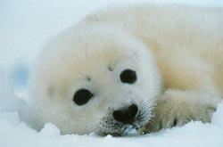 Yellowjacket harp seal pup - Rei Ohara