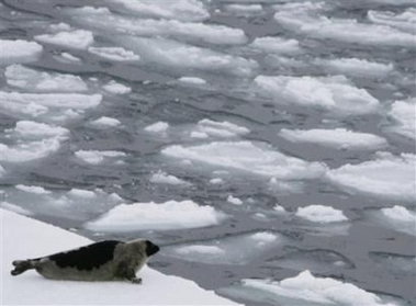 Harp Seal Looks Out on Icy Water