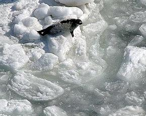 Harp seal on thin ice