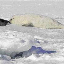 Harp Seal Pup Nuzzles Mother