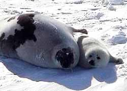 Whitecoat harp seal pup with mother