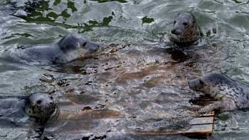 Overcrowded seal sanctuary