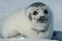 Ragged jacket harp seal - photo HSUS