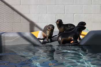 Rescued norther fur seal pups