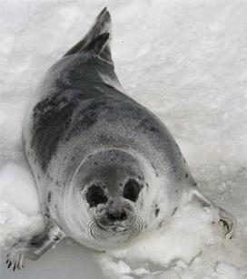seal threatened by Norwegian hunt