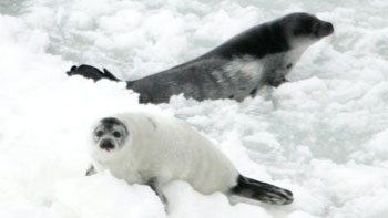Harp seal pup with mother