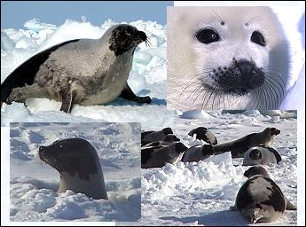 Harp seals are beautiful!