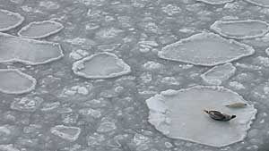 Seals on thin ice
