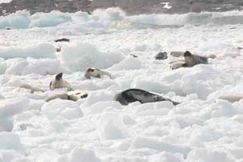 Seals gather on the ice off the Port Saunders
